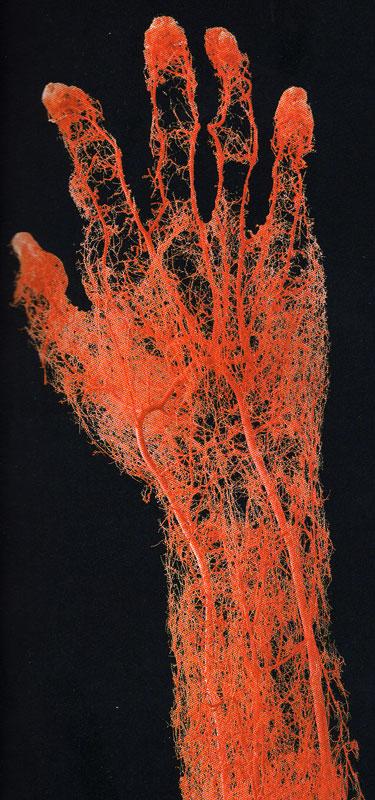 external image cardiovascular.jpg